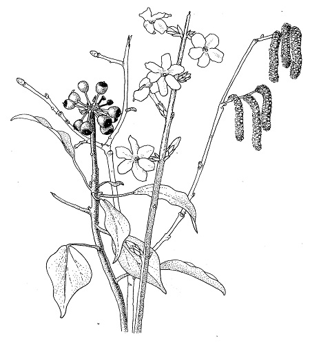 Botanical Drawing by Julia Trickey